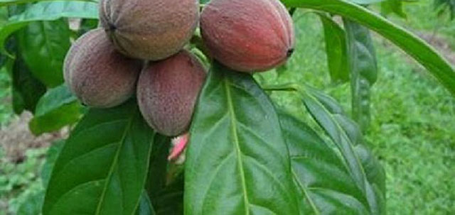 Scientists discover cancer-fighting berry on tree that only grows in Far North Queensland, Australia